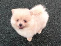 Extra tiny pure white male pom puppy, born on