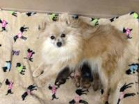 Registered Pomeranian Puppies, Born New years Eve. 2015