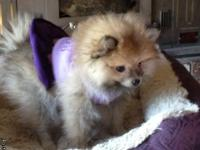 Adorable tiny female pomeranian puppy who was born on