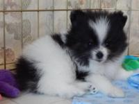 ACA Registered male tricolor pomeranian puppy, 7 weeks
