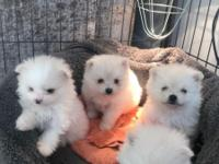 Beautiful Pomeranian cross poodle puppies now looking