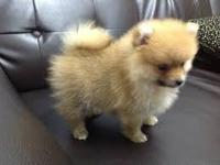This Pomeranian pup is current with her shots &