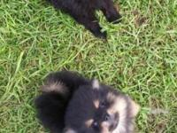 Pomeranian pups, dew-claws removed, dewormed, vet