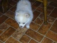 Pomeranian Pups . CKC registered. 7.5 weeks old. Taking