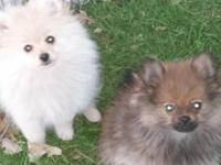 Purebred Pomeranian dogs, white/cream lady, and sable
