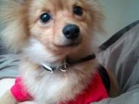 Purebred pomeranian puppies red sable female $300, red