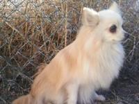 Pomeranian - Rachel - Small - Adult - Female - Dog I am