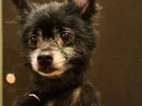 Pomeranian - Ralph - Small - Adult - Male - Dog Intake