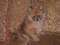 Very Nice little toy size Red Merle Pomeranian....great