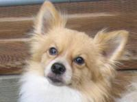 Pomeranian - Riley - Small - Adult - Male - Dog This