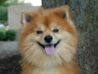 Pomeranian - Rudy - Small - Adult - Male - Dog He is 6