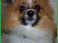 Pomeranian - Rufus - Small - Adult - Male - Dog We'd