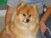 Pomeranian - Rupert - Small - Adult - Male - Dog Rupert