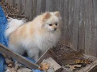 Pomeranian - S1321 Benji - Df - Small - Adult - Male -