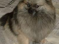 POM ADULT FEMALE, CREAM SABLE. HER NAME IS SABLE AND