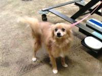 Pomeranian - Sasha - Small - Senior - Female - Dog I am