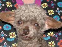 Pomeranian - Savannah - Small - Senior - Female - Dog