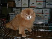 POM ADULT MALE. ROCKY IS 10YRS OLD. ARE YOU INTERESTED