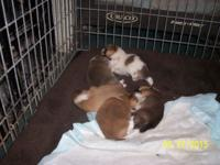 Six puppies, 5 females 1 male. they will be 2 weeks old