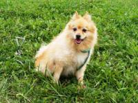 Pomeranian - Shelton - Small - Adult - Male - Dog