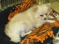Pomeranian - Sherri - Small - Adult - Female - Dog