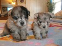 for sale very beautiful pomeranian /shih-tzu puppy the