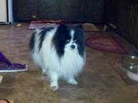 Pomeranian - Shoven - Small - Adult - Male - Dog Meet