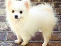 Small type Pomeranian white One female puppy for sale