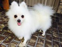 Small type Pomeranian white for sale Male puppy