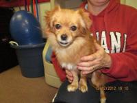 Pomeranian - Sophie - Small - Young - Female - Dog