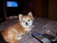 Pomeranian - Sugar - Medium - Young - Female - Dog You