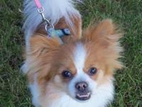 Pomeranian - Sugar Pie - Small - Young - Female - Dog