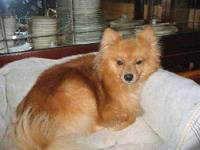 Pomeranian - Teddy - Small - Young - Male - Dog You can