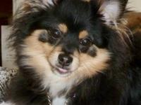 Pomeranian - Wego - Small - Adult - Male - Dog Wego is