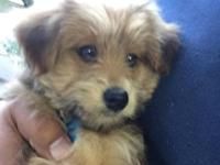 Pomeranian Yorkie Mix male. 12 weeks. Enjoys to cuddle.