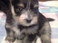 Adorable little black n tan male pomkie (pom/yorkie