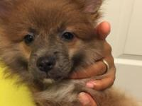 3 month Pomeranian $3500 Includes: -Kennel w/ water