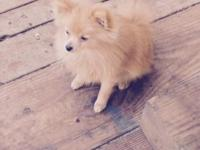 Hi rehoming my 8 month male golden Pomeranian. He's