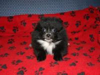 I have a cute Purebred Pomeranian Male Baby for sale.