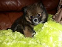 Hi I have one female $450 pomeranian puppy that are