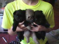 4 Pomeranians 1 Brown Male and 3 Black  Females