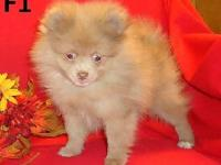 Poms with GREAT personalities!!!! All our puppies leave