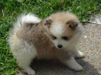 CKC Registered Pomeranian Puppies, 2 males, 1 female,