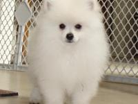 I HAVE A MALE POM THAT IS 11 weeks old so he is