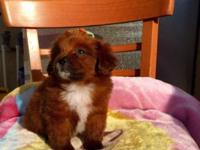 I have a Pomerian/Pekingese Puppy!! she is really cute