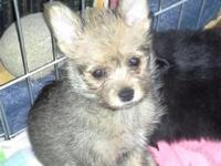 Zilla is 3/4 Pomeranian and 1/4 Yorkie. She must