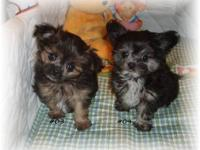 Adorable Pommy-Poo Puppies. Both parents are 6lbs. I