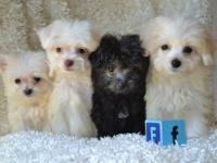 Female PomPoo puppy born on 5/3/13. $500+tax. PomPoos