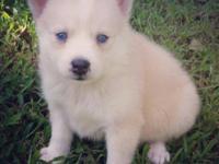 Female Pomsky Puppy Candy (Siberian Husky x