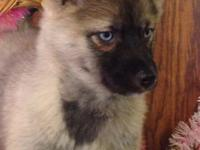 pomsky for sale in Wisconsin Classifieds & Buy and Sell in Wisconsin